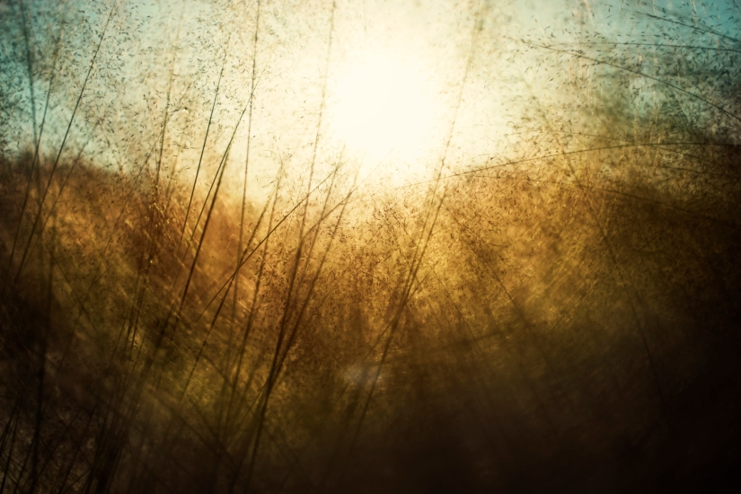 sunwheat.jpg